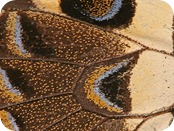 797px-Butterfly_Wing_close-up