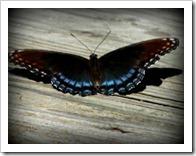 Butterfly002